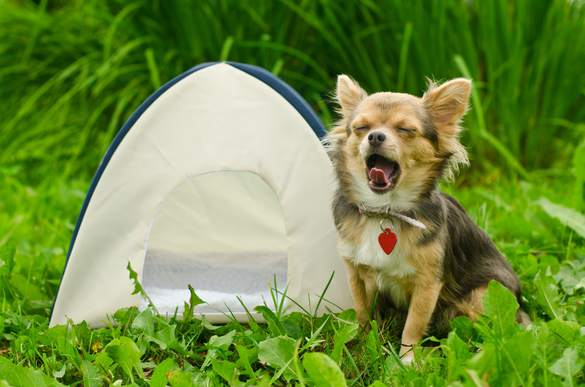 Chien-camping